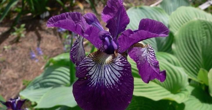 Iris sibirica 'Demure Illini'