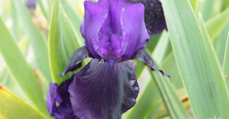 Iris 'Draco' (Germanica-Group)
