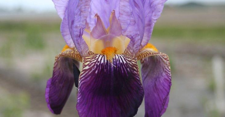 Iris 'Nightfall' (Germanica-Group)