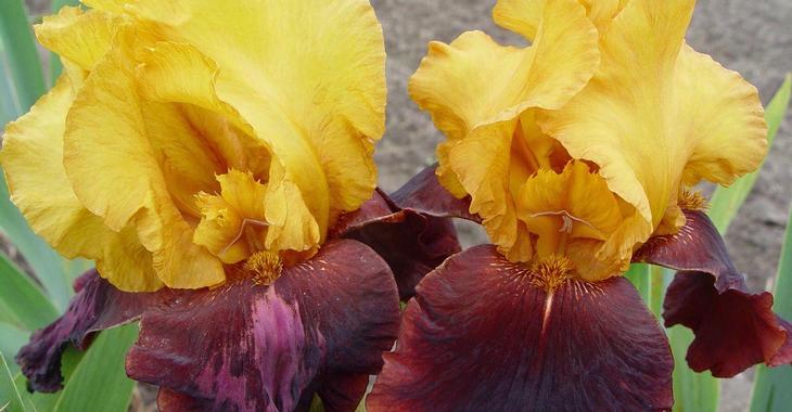 Iris 'Supreme Sultan' (Germanica-Group)