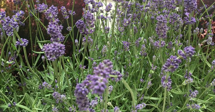lavandula angustifolia 39 essence purple 39 op. Black Bedroom Furniture Sets. Home Design Ideas