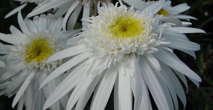 Leucanthemum 'Christine Hagemann' (Superbum-Gr)