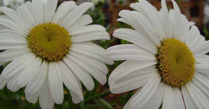 Leucanthemum 'Snow Lady' (Superbum-Gr)