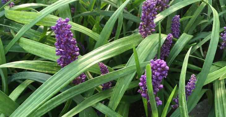 Liriope muscari 'Purple Passion'