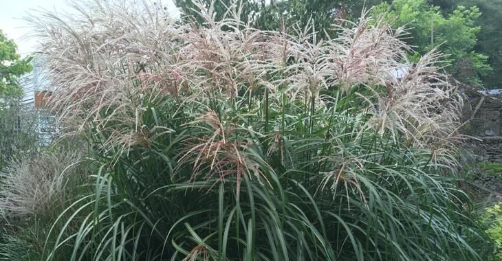 miscanthus sinensis malepartus images. Black Bedroom Furniture Sets. Home Design Ideas