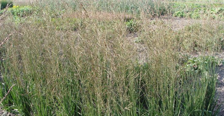 Molinia arundinacea JS® 'Witches' Broom'