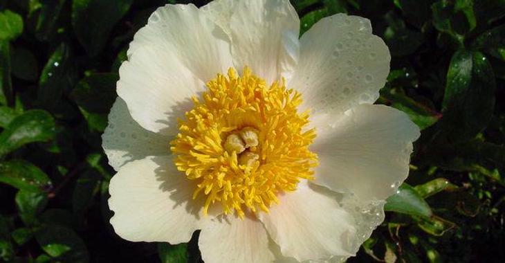 Paeonia 'Claire de Lune'