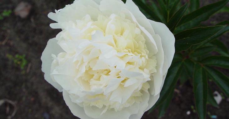Paeonia lactiflora 'Duchesse de Nemours' (SD)