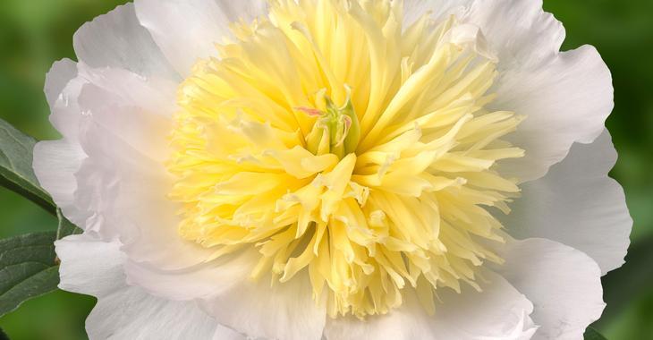 Paeonia lactiflora 'Honey Gold' (SD)