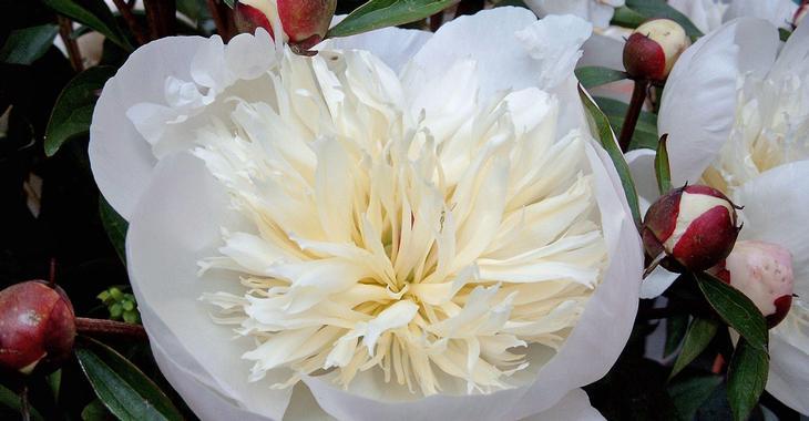 Paeonia lactiflora 'Immaculée' (SD)
