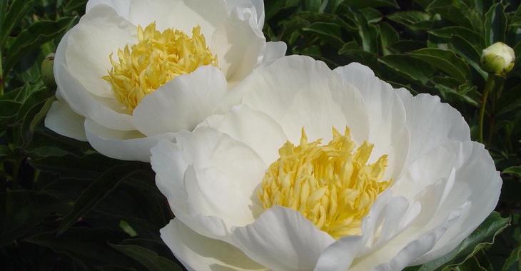 Paeonia lactiflora 'Jan Van Leeuwen' (S)