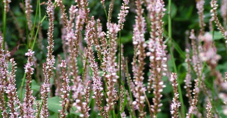 Persicaria ampl. 'Pink Mist'