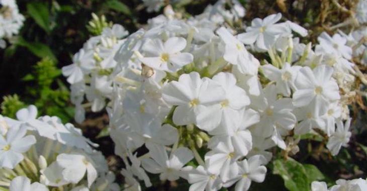 Phlox p. 'Fujiyama'