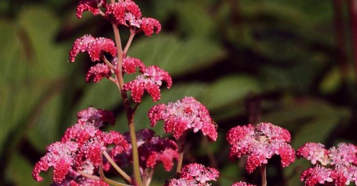 Rodgersia 'Dark Pokers'