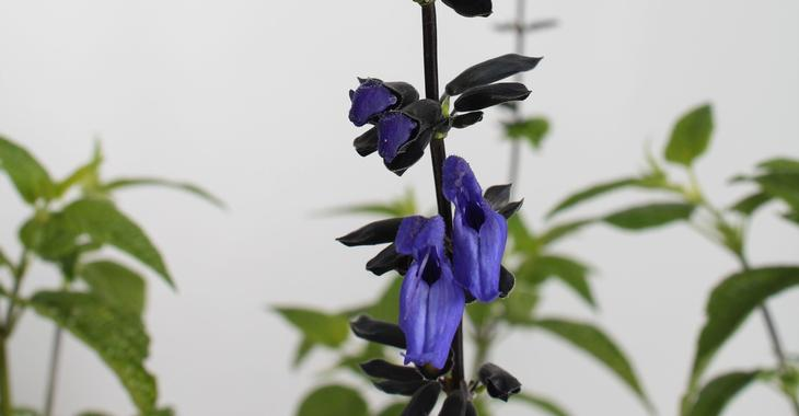 Salvia guarantica 'Black and Blue'