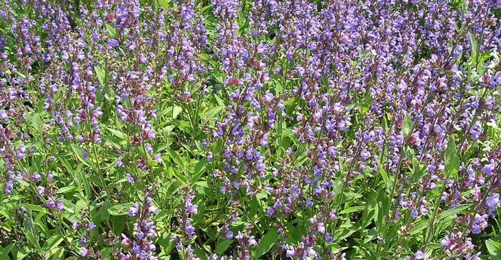 Salvia officinalis (SALIE)