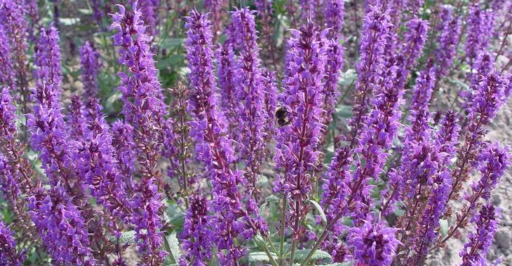 Salvia nemorosa JS® 'Mother Tilley'