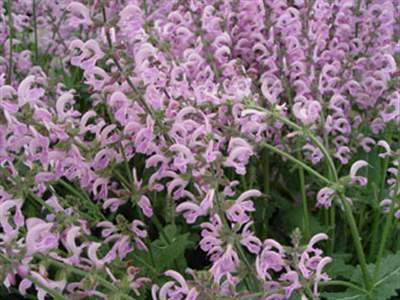 Salvia pratensis 'Pink Delight' PBR