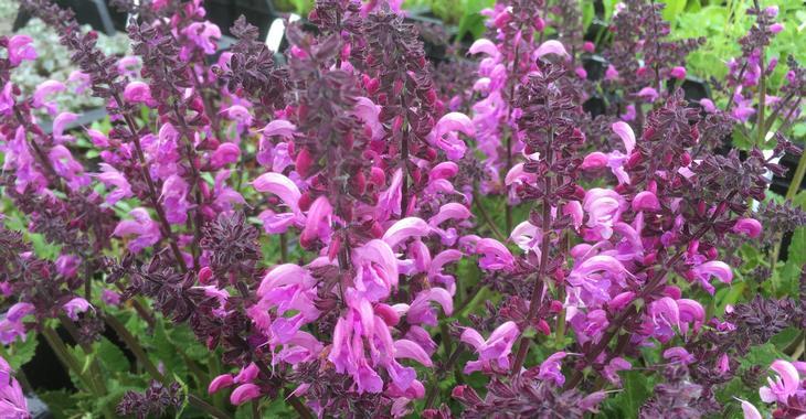 Salvia pratensis 'Pretty in Pink'