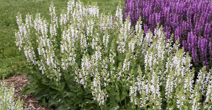 Salvia nemorosa 'Snow Kiss'