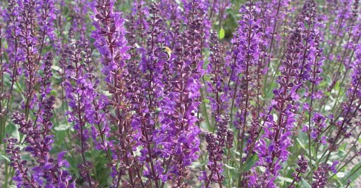 Salvia nemorosa JS® 'Slimming Blue'