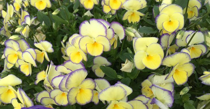 Viola 'Etain' (Cornuta-Group)