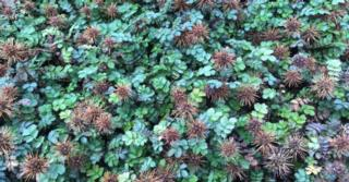 Acaena microphylla 'Dichte Matte'