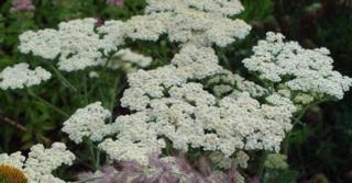 Achillea millefolium 'Schneetaler'