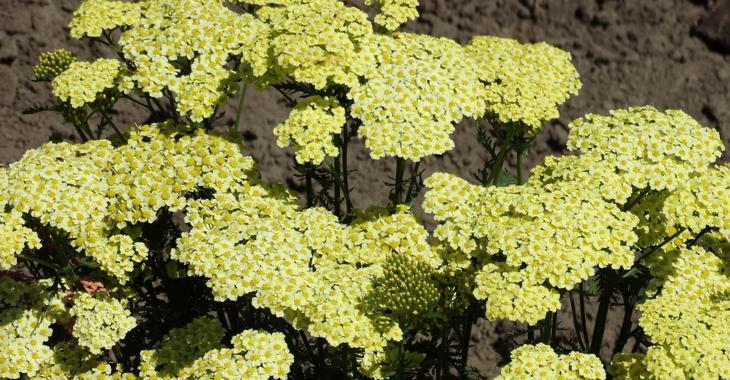 Achillea millefolium 'Sunny Seduction'