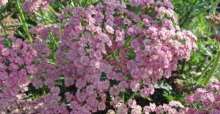 Achillea millefolium 'Wesersandstein'