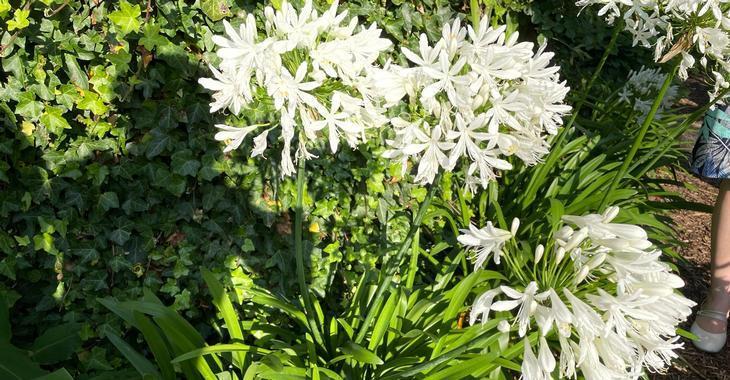 Agapanthus africanus 'Albus'
