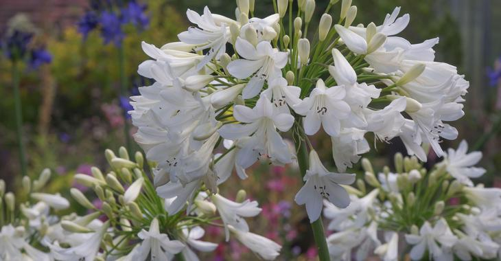 Agapanthus 'Arctic Star' (Trumpet-Group)