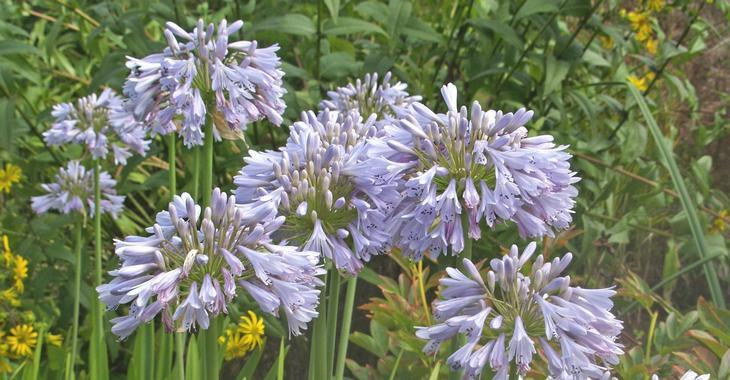 Agapanthus 'Blue Moon' (Trumpet-Group)
