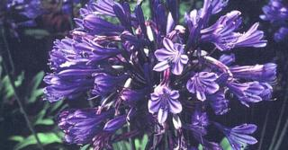 Agapanthus 'Black Pantha' PBR (Funnel-Group)