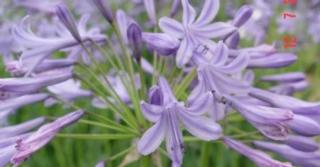 Agapanthus 'Blue Triumphator' (Salver-Group)