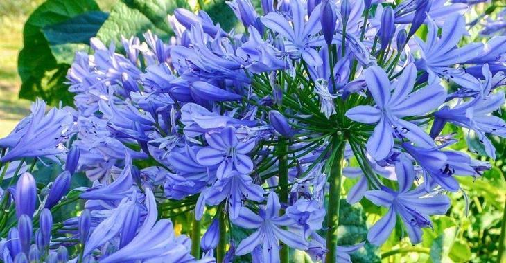 Agapanthus 'Dr Brouwer' (Trumpet-Group)