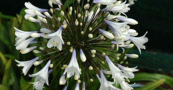 Agapanthus 'Enigma' (Trumpet-Group)