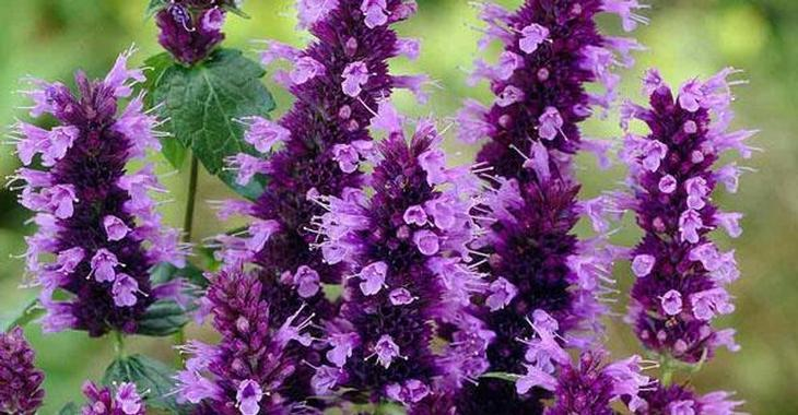 Agastache rugosa 'Little Adder'