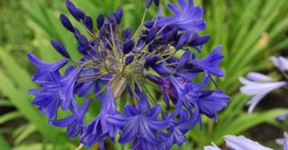 Agapanthus 'Navy Blue' (Trumpet-Group)