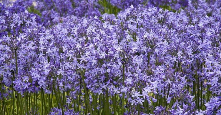 Agapanthus 'Pretty Sandy'