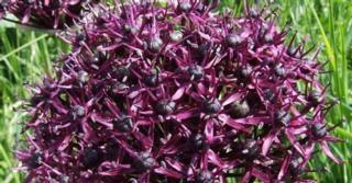 Allium atropurpureum LOS