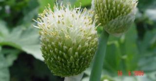Allium fistulosum (BIESLOOK GROF)