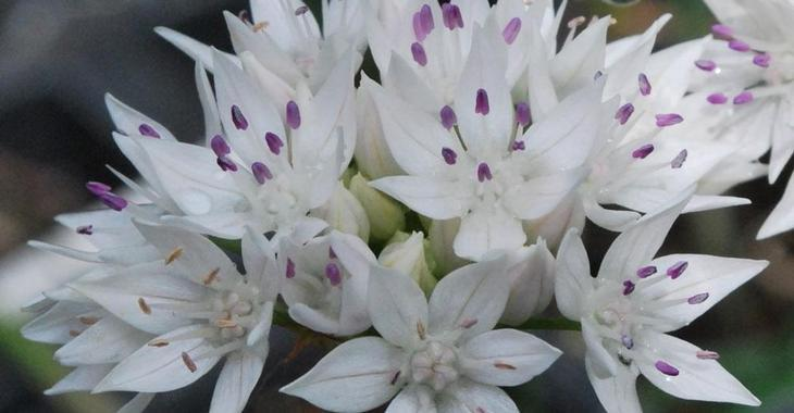 Allium amplectens 'Graceful Beauty' LOS