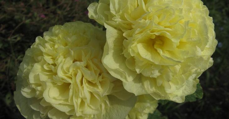 Alcea rosea 'Charters Gelb'