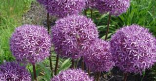 Allium 'Globemaster' LOS