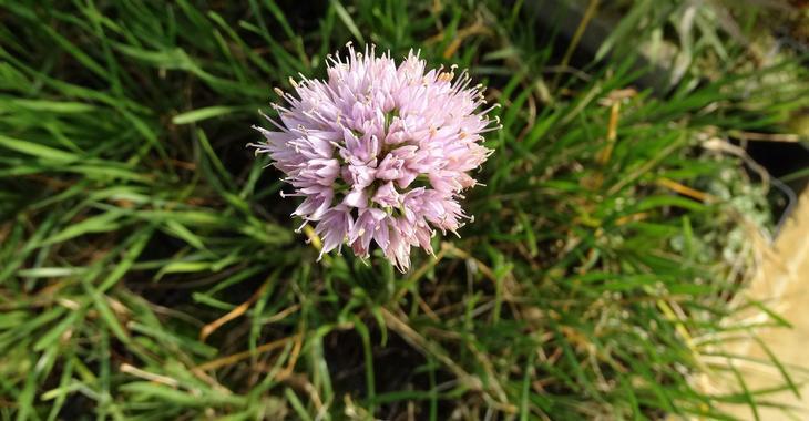 Allium senescens 'Lisa Green'