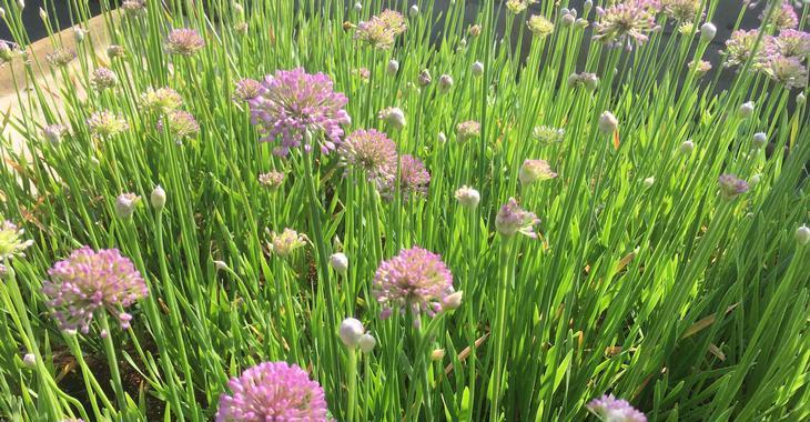 Allium senescens 'Millennium'