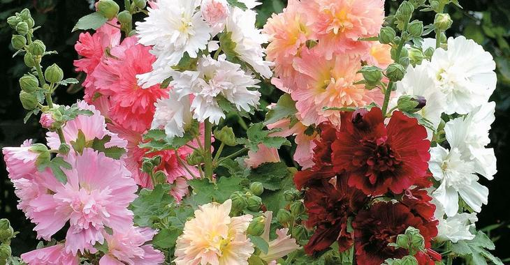 Alcea rosea Chater's Double Hybrids