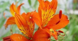 Alstroemeria aurea 'Orange King'