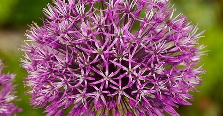 Allium jesdianum 'Purple King'